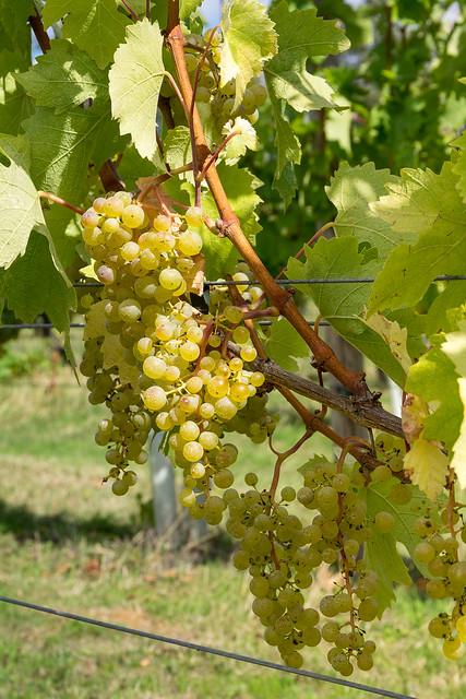 Bedfordshire Vineyard