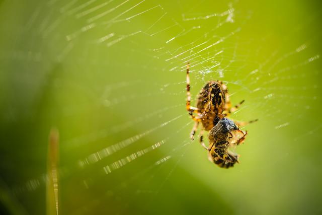 Backlit Spider and prey