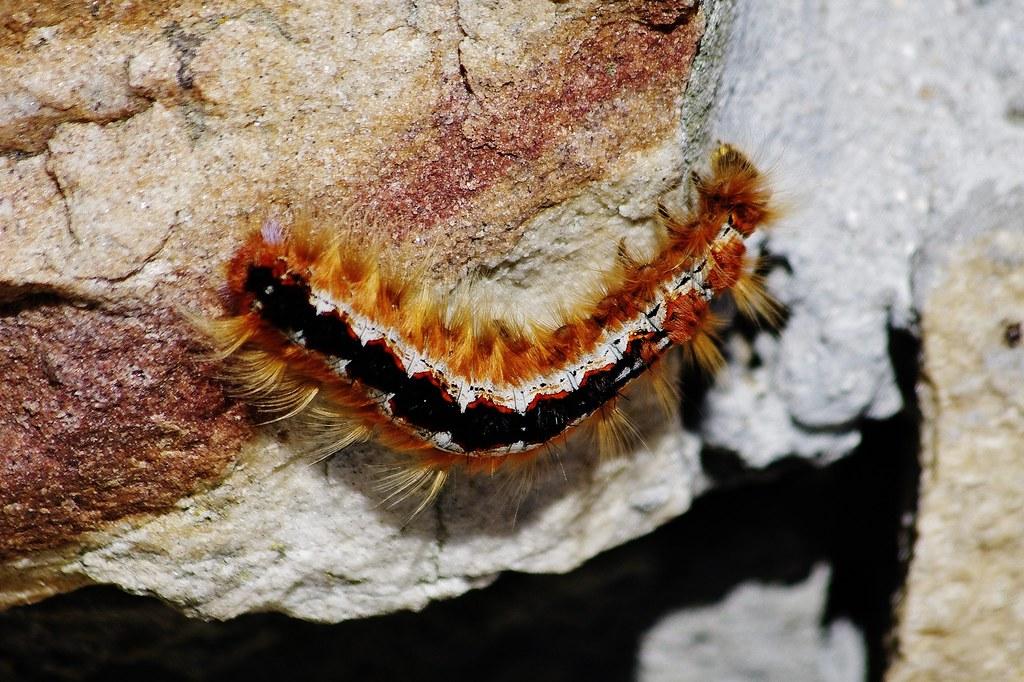 Eutricha capensis, The Cape Lappet Moth