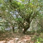 Stieleichen (Quercus robur) am Rande der Dellbrücker Heide