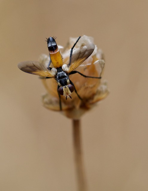 Cylindromyia intermedia