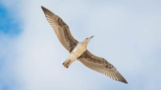 gull   by Philip N. Cohen