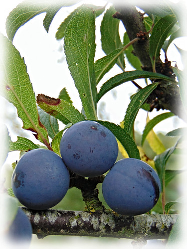 Blackthorn or Sloe fruit at side of the Pennine Bridleway | by simeonorme