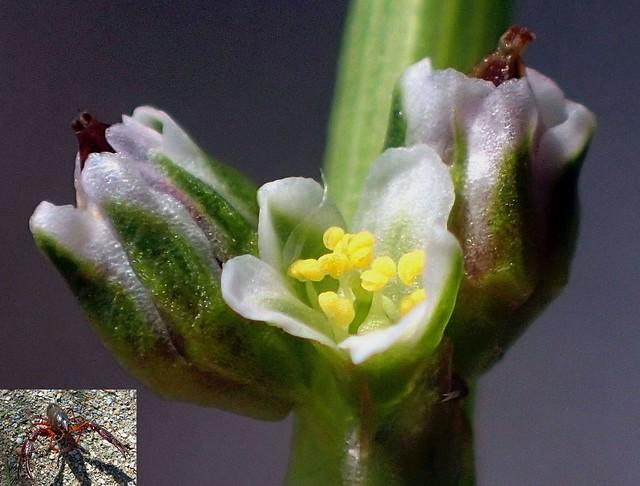 Invaders. Common Knotgrass, Polygonum aviculare, and Procambarus clarkii, Louisiana Crawfish, Gaasperplaspark, Amsterdam, The Netherlands