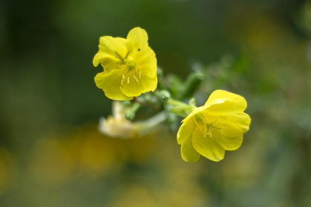 Oenothera macrocarpa, Black Mountain, Cumberland Trail SP, Cumberland County, Tennessee