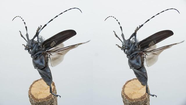 Anoplophora malasiaca
