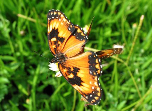 butterfly insect borboleta visitor abigfave