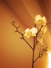 31 days - 31 photos: Day 30 - Orchid   by gifrancis