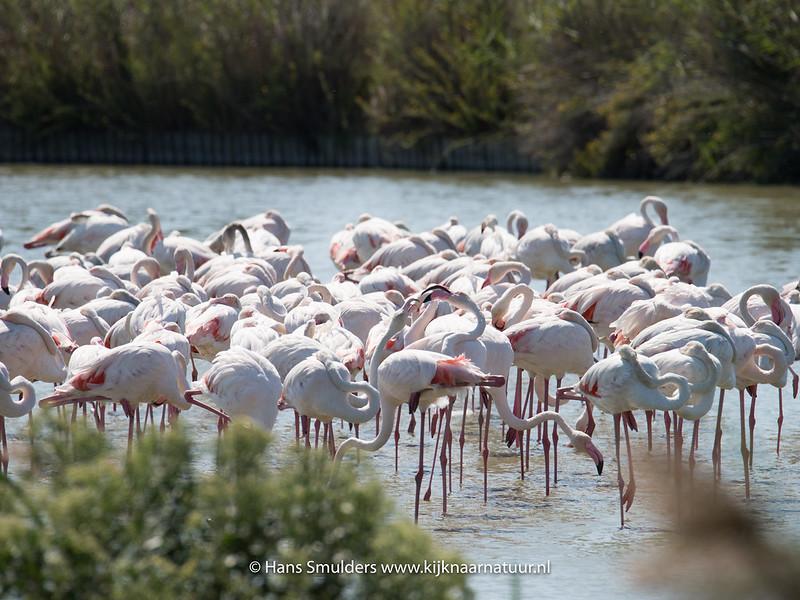 Flamingo (Phoenicopterus roseus)-818_5919