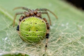 Orb weaver spider (cf. Araneus sp.) - DSC_0280   by nickybay