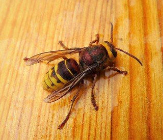 Hornet Vespa crabro | by gailhampshire