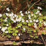 Wald-Sauerklee (Oxalis acetosella) im Schellenberger Wald