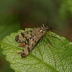Gemeine Skorpionsfliege (Panorpa vulgaris) auf der Schurenbachhalde