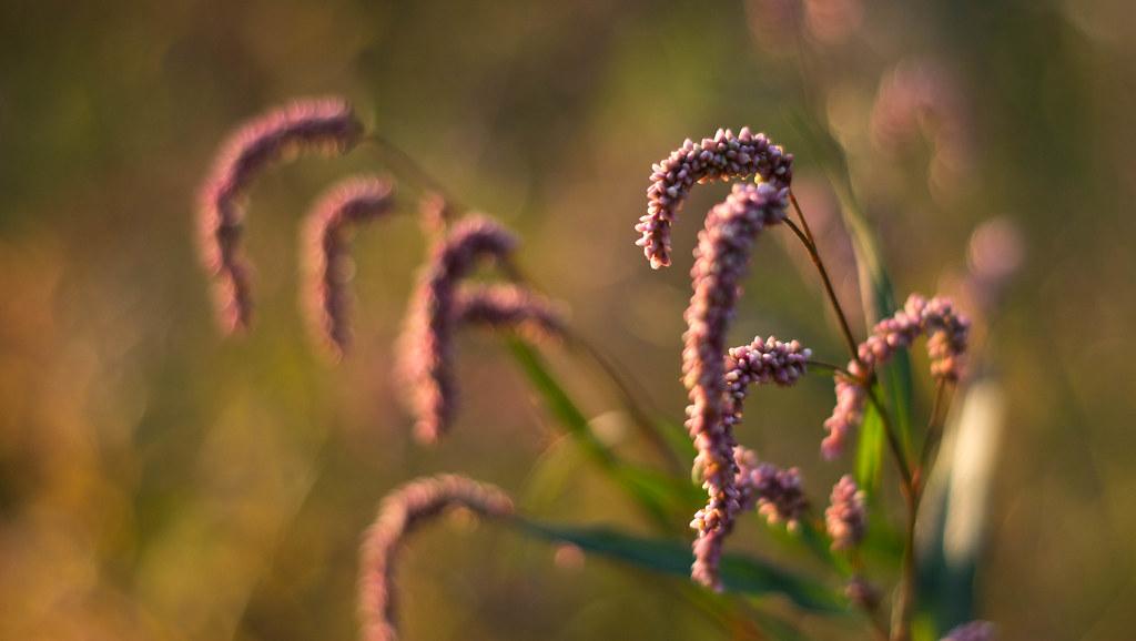 Some Grasses, idk