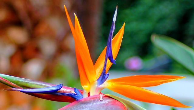 Puerto de la cruz tenerife bird of paradise flower