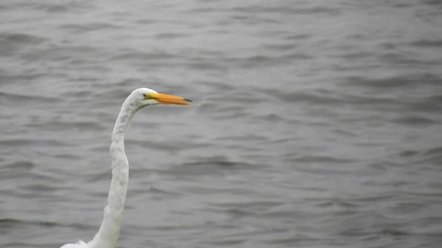Great Egret_6449.mp4