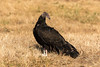 Turkey Vulture (Cathartes aura)  Immature by Brown Acres Mark