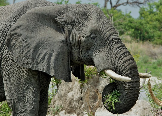 Elephant Portrait (Loxodonta africana)-
