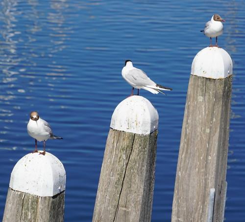 Sea Gulls at Veere (3) | by bertknot
