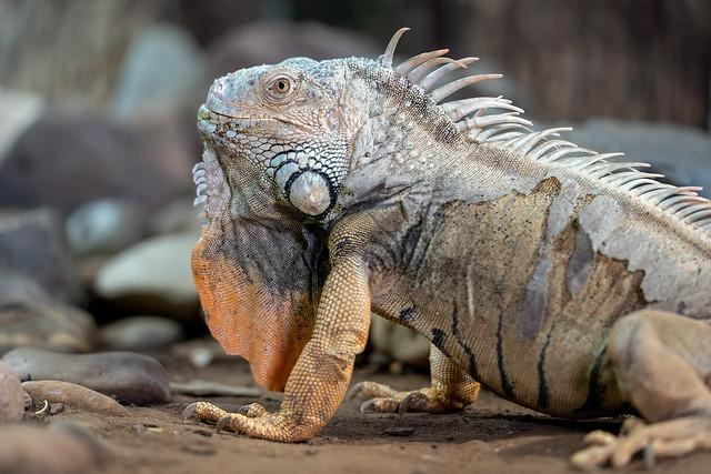 Curious Iguana...