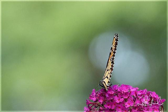Monarch on Mauve