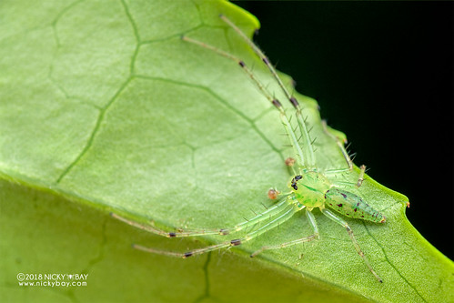 Green crab spider (Oxytate sp.) - DSC_2038 | by nickybay