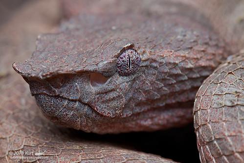 Trimeresurus borneensis_MG_1585 copy | by Kurt (OrionHerpAdventure.com)
