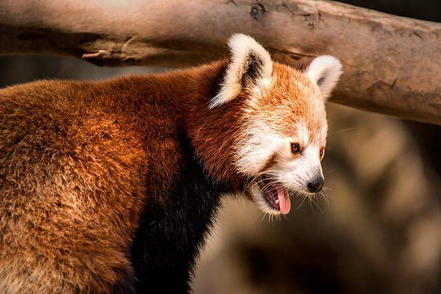 Red Panda at NZ 3-0 F LR 8-26-18 J017