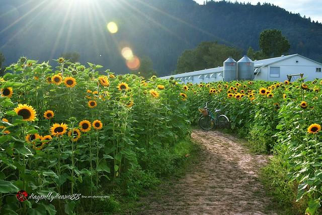 Chilliwack Sunflower Festival . . .