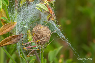 Green lynx spider (Peucetia sp.) - DSC_0151 | by nickybay