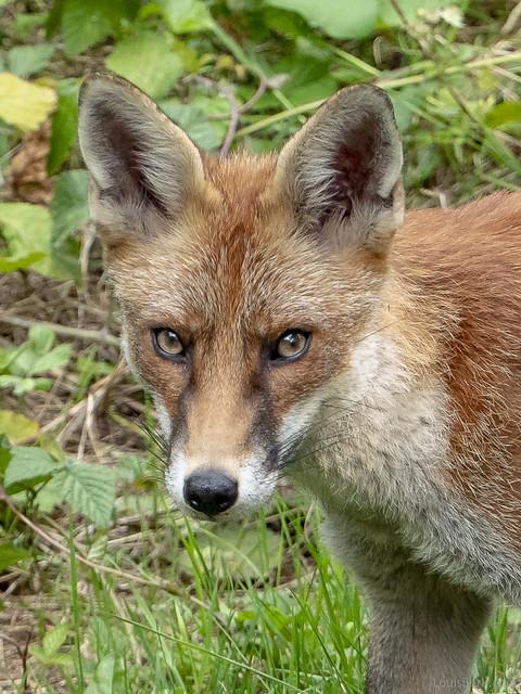 More Garden Fox