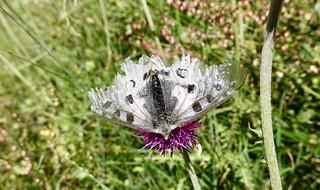 Very tattered butterfly   by danlmarmot