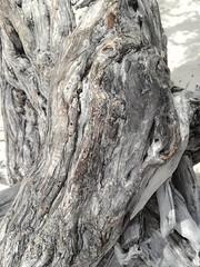 the bark of a Divi-divi tree, Eagle Beach, Aruba, Sept 2018