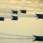 Schwimmende Lachmöwen (Chroicocephalus ridibundus) an einem frühen Wintermorgen auf dem Baldeneysee