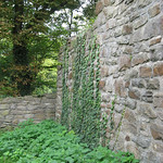 Efeu erklimmt die Mauern der Isenburg-Ruine in Essen