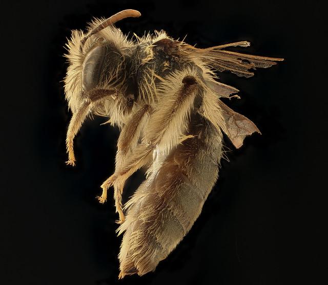 Andrena gnaphalii, f, left, Santa Barbara Co., CA_2018-07-13-16.38