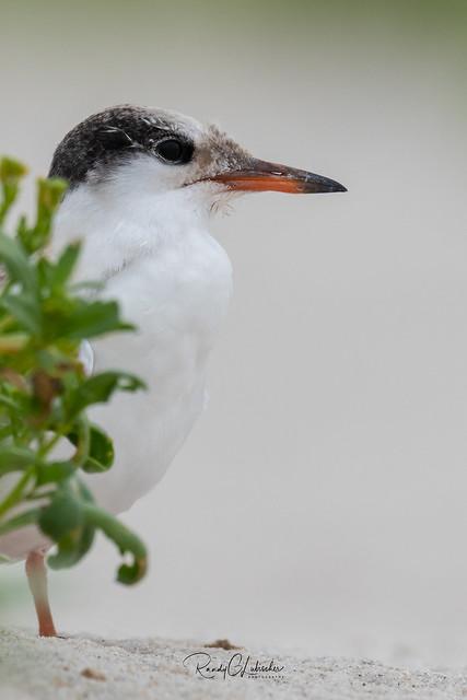 Common Tern - Sterna hirundo   2018 - 1