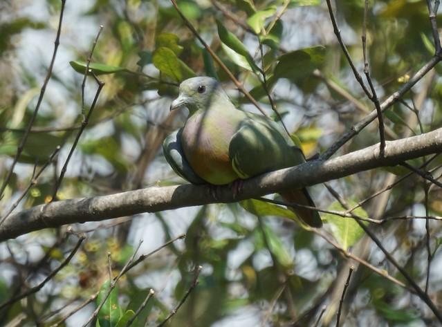 Pink-necked Green Pigeon, Treron vernans, Розовошейный зелёный голубь