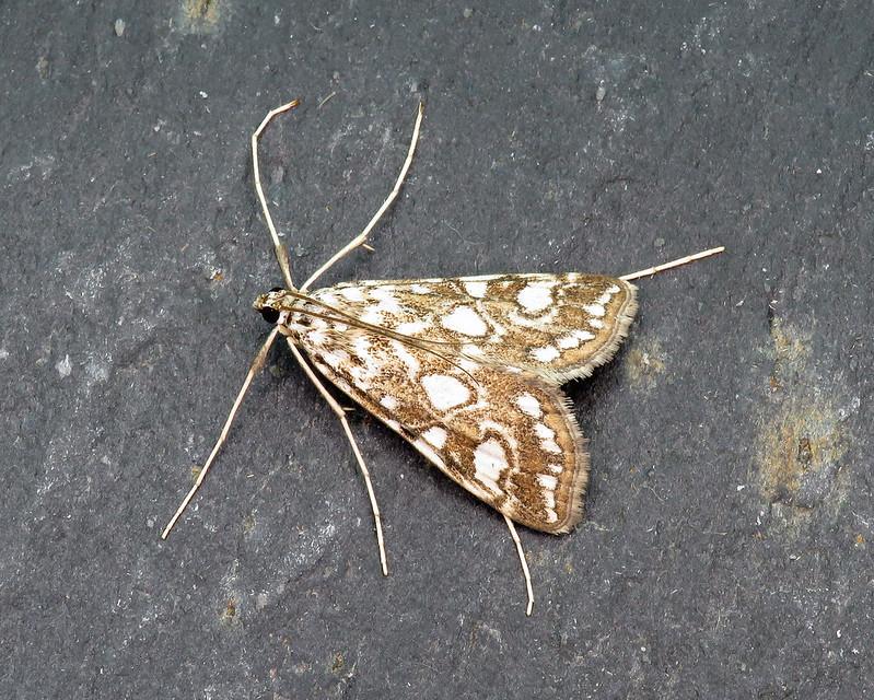 63.114 Brown China-mark - Elophila nymphaeata