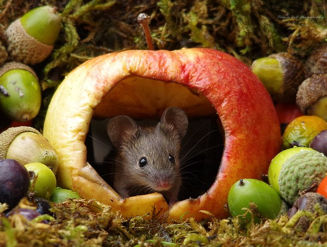 wild garden mouse inside a apple (2)