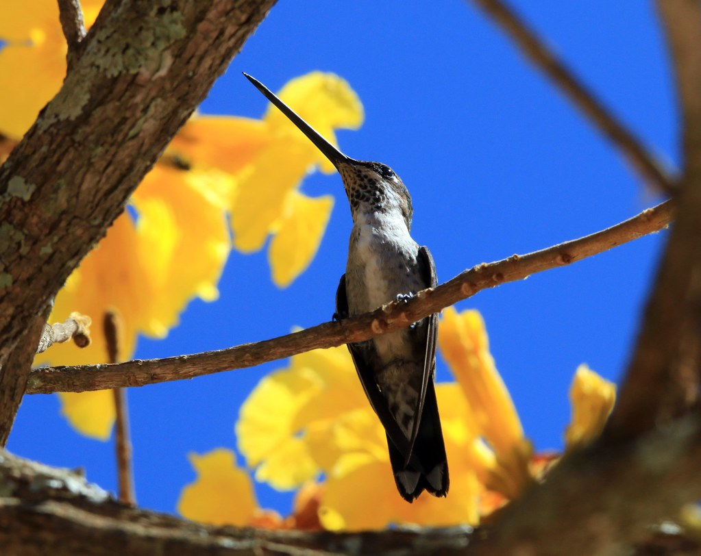 Bico reto de banda branca-(fêmea)-Heliomaster squamosus