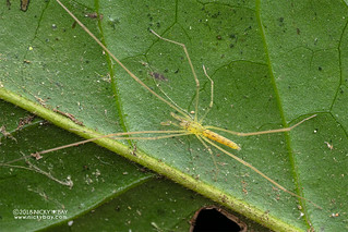 Long-legged sac spider (Donuea sp.) - DSC_2455 | by nickybay