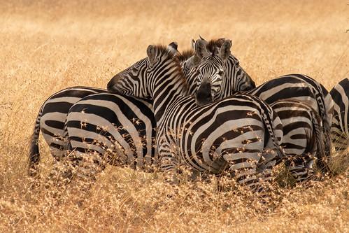 Zebra cluster | by Laura Jacobsen