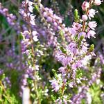 Besenheide (Calluna vulgaris) im Königsforst
