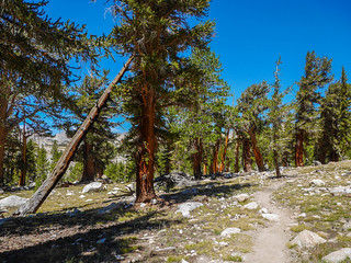 JMT open forest | by snackronym