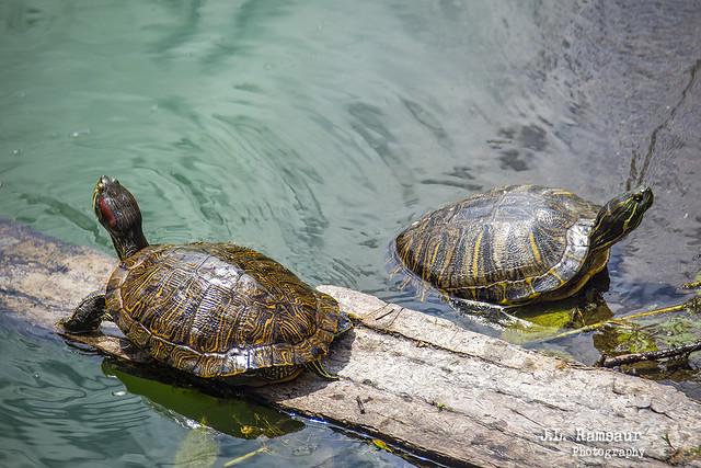 Turtles - Radnor Lake State Park - Nashville, TN