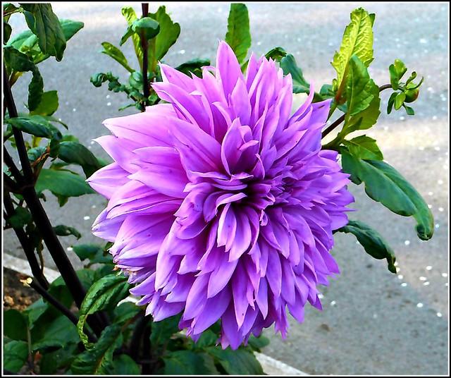 Blue Dahlia Flower ...
