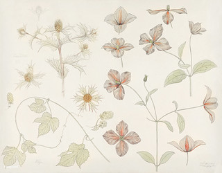 Study sheet with Sea Thistle, Hop and Clematis (1899) by Julie de Graag (1877-1924). Original from the Rijks Museum. Digitally enhanced by rawpixel. | by Free Public Domain Illustrations by rawpixel