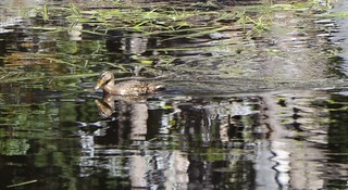 1874 Zoomed-in view of a duck swimming in a small pond below Middle Velma Lake on the PCT | by _JFR_