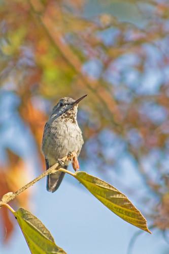 bird annashummingbird nature bokeh oregon rainier sunshine calypteanna